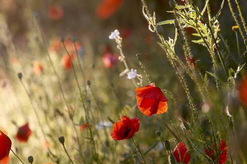 Poppies on a field - JTF00810