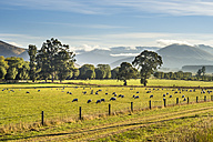 New Zealand, South Island, Southern Scenic Route, Fiordland National Park, flock of sheep - STSF01233