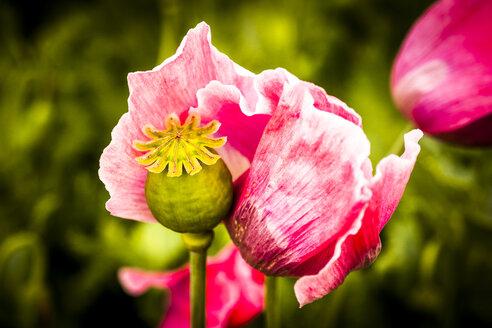 Poppy in field - EGBF00235