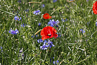 Poppies and cornflowers on a meadow - JTF00811