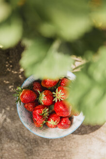 Bowl of fresh strawberries picked in the garden - NMSF00122