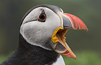UK, England, Skomer, screaming Atlantic puffin - MJOF01374