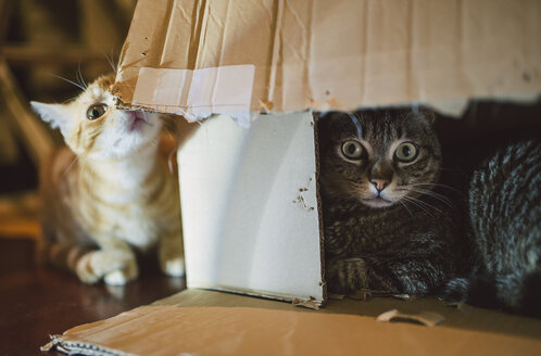 Two cats playing with cardboard box - RAEF01889