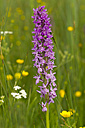 Western marsh orchid - ZCF00524
