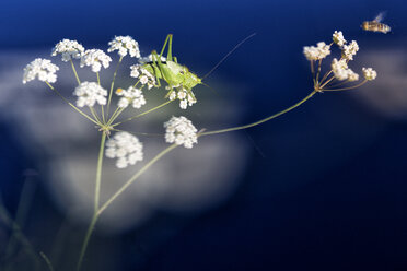 Grasshopper Isophya pyrenea and bee on flower - DSGF01674