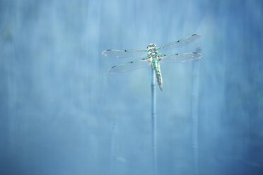 Four-spotted Chaser - DSGF01677