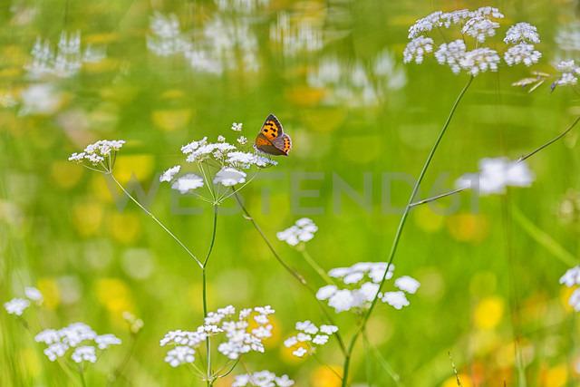 Female sooty copper on flower - DSGF01683