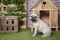 Portrait of french bulldog with dog house and vertical garden - RTBF00923