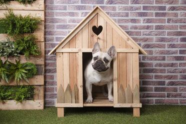 French bulldog inside wooden dog house - RTBF00929