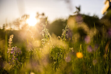 Germany, Bavaria, Summer meadow in evening light - SARF03342
