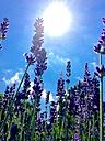 Lavender - JTF00821