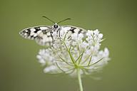 Marbled white on flower - MJOF01379