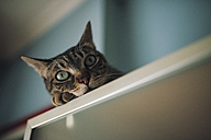 Portrait of tabby cat relaxing at home - RAEF01900