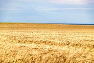 UK, Scotland, field of barley - SMAF00758