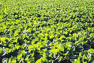 UK, Scotland, East Lothian, young plants on Brussels Sprout field - SMAF00761