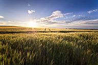 UK, Scotland, field of wheat at sunset - SMAF00767