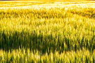 Field of barley - SMAF00772