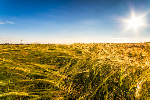 Field of barley at sunset - SMAF00775