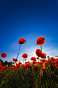 Poppy field at sunlight - SMAF00784