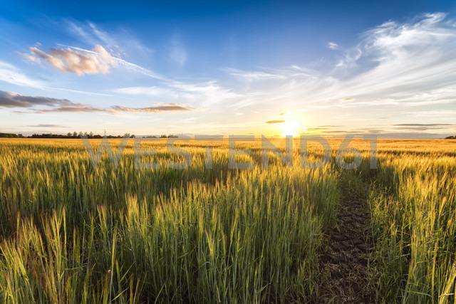 Field of barley at sunset - SMAF00787 - Scott Masterton/Westend61