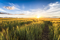 Field of barley at sunset - SMAF00787