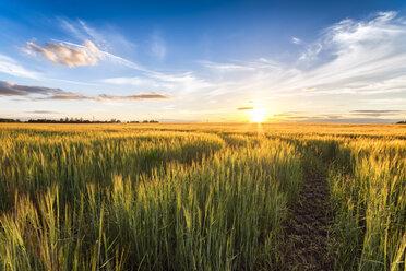 Field of barley at sunset - SMAF00787