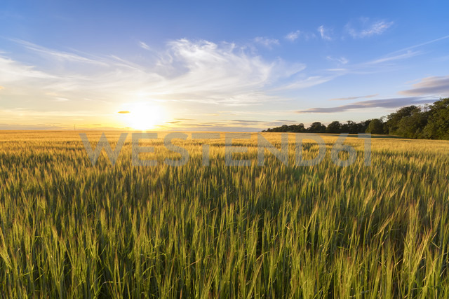 UK, Scotland, East Lothian, field of barley at sunset - SMAF00790