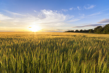 UK, Scotland, East Lothian, field of barley at sunset - SMAF00790