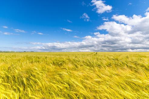 Barley field - SMAF00796
