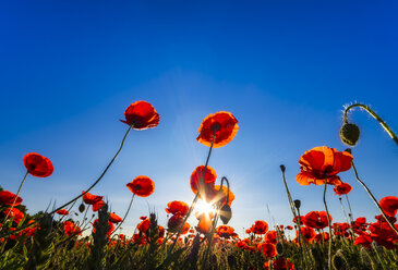 Poppy field at sunlight - SMAF00805