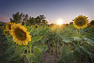 Sunflower field at sunset - DHCF00111