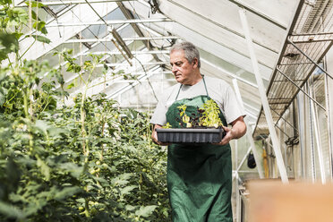 Senior man in greenhouse holding tray with seedlings - UUF11297