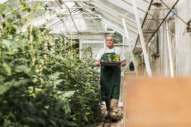 Senior man in greenhouse holding tray with seedlings - UUF11303