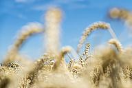 Ears of wheat - FRF00532