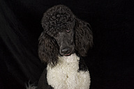 Portrait of black and white poodle in front of black background - MJOF01382