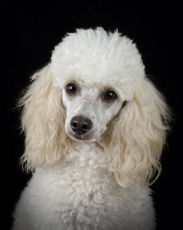 Portrait of white poodle in front of black background - MJOF01385