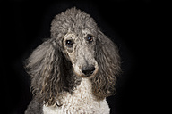 Portrait of poodle in front of black background - MJOF01388
