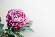 Pink peony - MJF02148