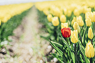 Yellow tulip field with a red one - MJF02151