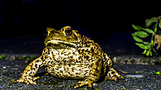 Portrait of European toad - MHF00422