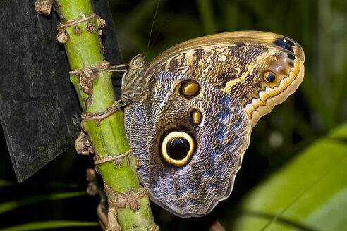 Germany, Mainau, Owl butterfly - ZCF00537
