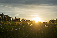 Blowballs on a meadow at sunset - LHF00531