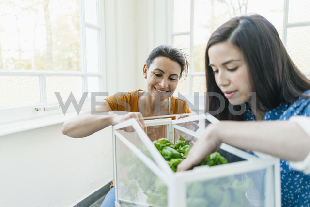 Two women caring for herbs in glass box - JOSF01302