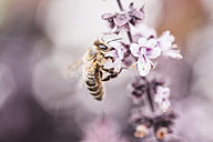 Bee collecting pollen on basil blossom - IPF00410
