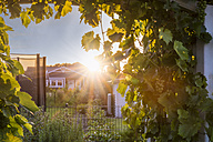 View into a garden with wine tendrils towards sunset - FRF00536