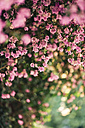 Detail of pink blossoms - JPF00267