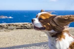 Spain, Catalonia, Costa Brava, Cap de Creus, Cadaques, Cavalier King Charles Spaniel in wind - PUF00689