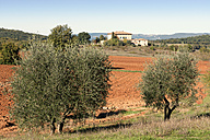 Italy, Tuscany, Province of Siena, field and olive trees - CSTF01342