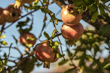 Italy, Tuscany, ripe pomegranates on tree - CSTF01351
