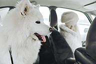 White dog in car with owner in the background - ZEDF00839